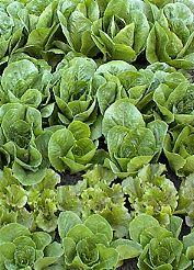 Lettuce Is My Favorite Vegetable To Grow And Eat And Is Probably The Best  Suited For Square Foot Gardening. It Does Not Require Much Room And It Does  Not ...